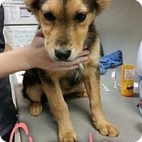 Adopt A Pet :: Cheeto - Garden City, MI
