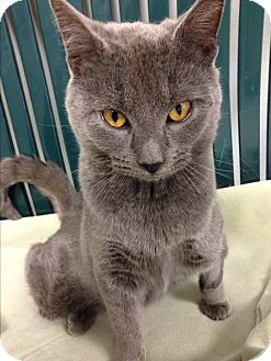 Russian Blue Cat for adoption in Hendersonville, North Carolina - Todd
