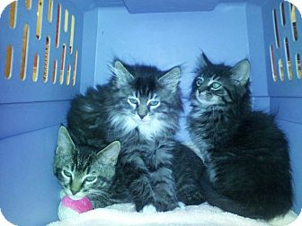 Maine Coon Kitten for adoption in Berkeley Hts, New Jersey - Bella and Sara