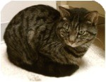 Domestic Shorthair Cat for adoption in El Cajon, California - Pepper