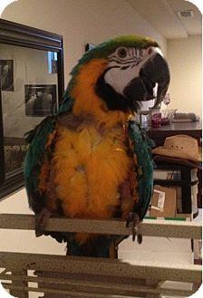 Macaw for adoption in St. Louis, Missouri - Ella