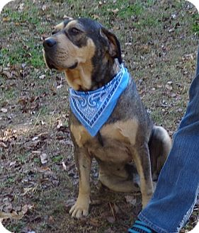 Mastiff/Shepherd (Unknown Type) Mix Dog for adoption in Plainfield, Connecticut - Barney Blue ($100 off)