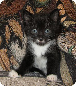 Domestic Mediumhair Kitten for adoption in Richfield, Ohio - Hope's Litter