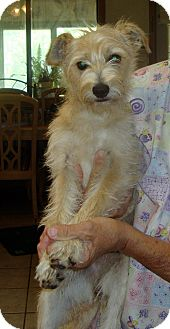 Wirehaired Fox Terrier/Schnauzer (Miniature) Mix Puppy for adoption in Daleville, Alabama - Honey