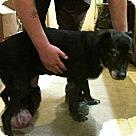 Adopt A Pet :: Suzy Q