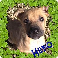Adopt A Pet :: Hero - Brazil, IN