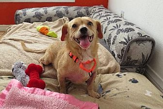 Beagle/Dachshund Mix Dog for adoption in Santa Monica, California - Vivienne (Sweet Angel)