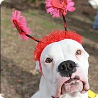 Adopt A Pet :: Elsa - Austin, TX