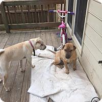 Adopt A Pet :: Cookie in GA - pending - Mira Loma, CA