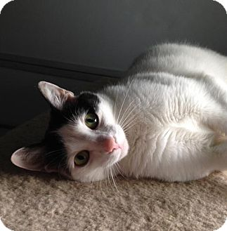 Domestic Shorthair Cat for adoption in Furlong, Pennsylvania - aTrish