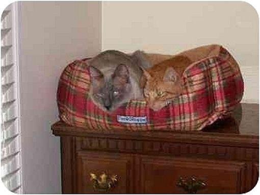 Siamese Cat for adoption in Austin, Texas - Douglas