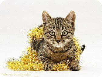 Domestic Shorthair Kitten for adoption in Arlington, Virginia - Oyster