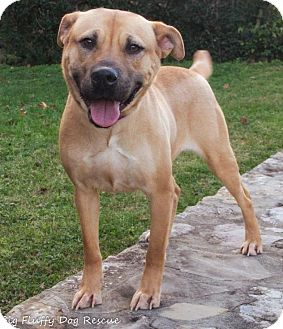 Shepherd (Unknown Type)/Pit Bull Terrier Mix Dog for adoption in Enfield, Connecticut - Jezzie