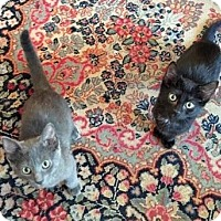 Adopt A Pet :: Algernon and Ernest, Bros Who Play & Cuddle - Brooklyn, NY