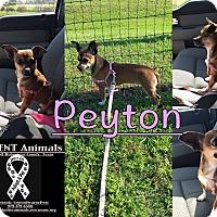 Adopt A Pet :: Peyton - Hearne, TX