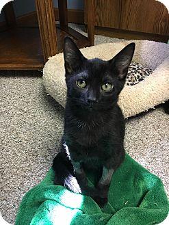 Domestic Shorthair Kitten for adoption in Columbus, Ohio - Marty