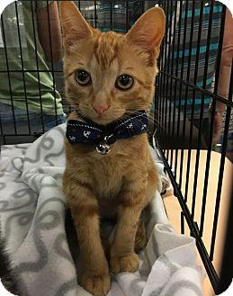 Domestic Shorthair Cat for adoption in Santa Ana, California - Klive