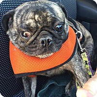 Pug Dog for adoption in Gardena, California - Ralphie