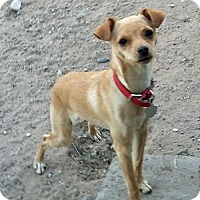 Adopt A Pet :: **BUTTERSCOTCH - Peralta, NM