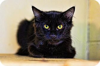 Domestic Mediumhair Cat for adoption in Markham, Ontario - Olive