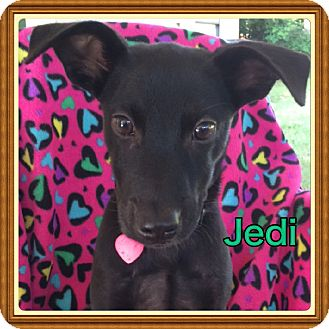 Labrador Retriever Mix Puppy for adoption in Haggerstown, Maryland - Jedi