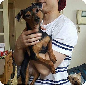 Miniature Pinscher/Beagle Mix Dog for adoption in Oakton, Virginia - Athena