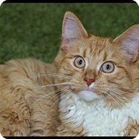 Domestic Mediumhair Kitten for adoption in Brick, New Jersey - Daryl