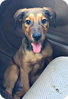 Labrador Retriever/Shepherd (Unknown Type) Mix Puppy for adoption in Boulder, Colorado - Keesha