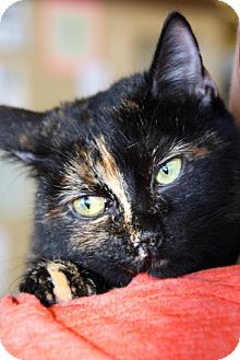 Domestic Shorthair Cat for adoption in Rockwall, Texas - Snuffles
