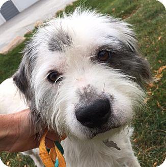 Norfolk Terrier Mix Dog for adoption in Fort Collins, Colorado - Trigger