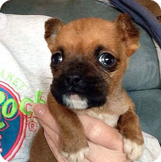 Terrier (Unknown Type, Small) Mix Puppy for adoption in Lexington, North Carolina - Cleo