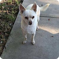 Adopt A Pet :: Thelma - Studio City, CA