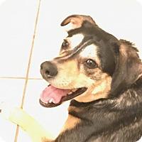 Adopt A Pet :: Shiloh - Edmond, OK