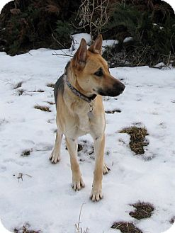 German Shepherd Dog Mix Dog for adoption in Seattle, Washington - Minx - Gorgeous Girl