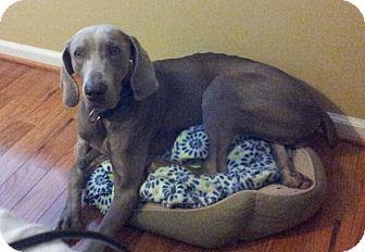 Weimaraner Mix Dog for adoption in Indian Trail, North Carolina - Velvet