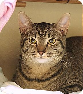 Domestic Shorthair Cat for adoption in Ocean City, New Jersey - Stone