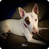 Adopt A Pet :: Tori - Sachse, TX