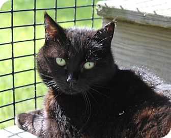 Domestic Shorthair Cat for adoption in Lunenburg, Massachusetts - Leann