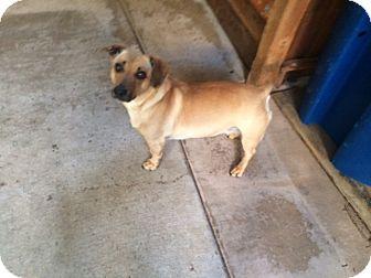 Dachshund/Pit Bull Terrier Mix Dog for adoption in Lafayette, California - Cha Cha