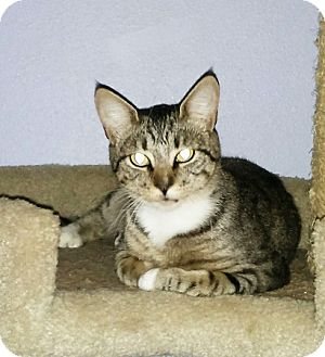 Domestic Shorthair Cat for adoption in Portland, Oregon - Valerie