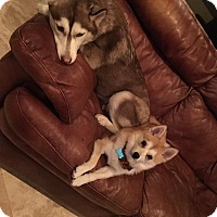 Adopt A Pet :: husky and little dog - Coral Springs, FL