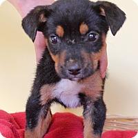 Adopt A Pet :: Lauren - Waldorf, MD
