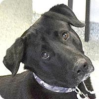 Adopt A Pet :: Bogie - Huntley, IL