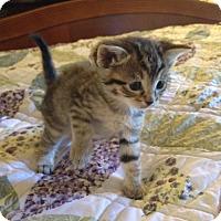 Adopt A Pet :: TIGGER - Lakewood, CA