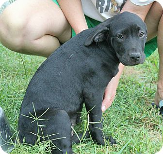 Pit Bull Terrier/Hound (Unknown Type) Mix Puppy for adoption in Nashville, Tennessee - Darla