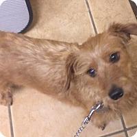 Adopt A Pet :: Little Hercules the wire Doxie - Oak Ridge, NJ