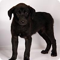 Adopt A Pet :: Honey (Waverly) Labmix - St. Louis, MO