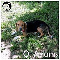 Adopt A Pet :: Q Adams - Chicago, IL