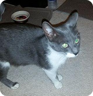 Domestic Shorthair Cat for adoption in Toledo, Ohio - Smokey