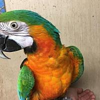 Adopt A Pet :: Spartacus - Woodbridge, NJ